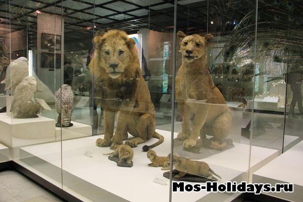 Половая изменчивость на примере львов