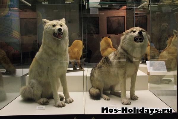 Волки на втором этаже музея Дарвина