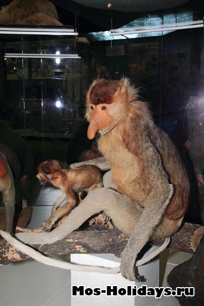 Обезьяна-носач на третьем этаже музея Дарвина