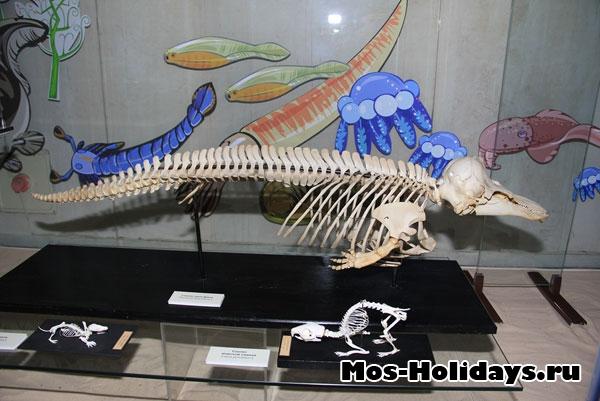 Скелет дельфина на третьем этаже музея Дарвина