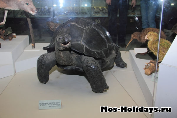 Гигантская или слоновая черепаха на третьем этаже музея Дарвина