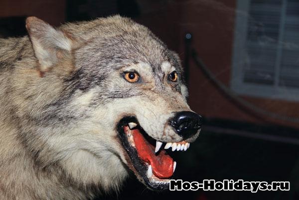 Волк в выставочном комплексе музея Дарвина