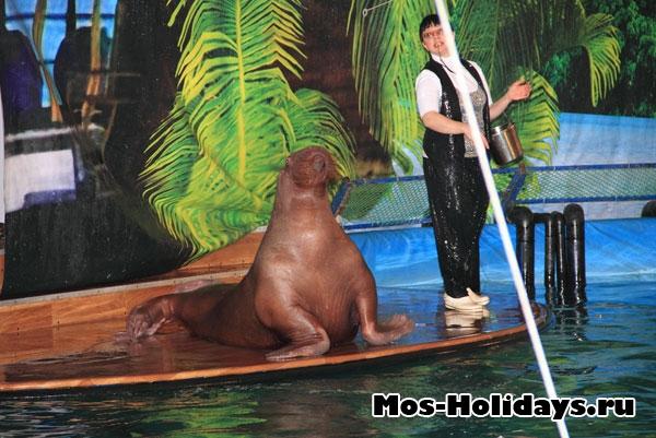 Моржиха в дельфинарии на ВВЦ