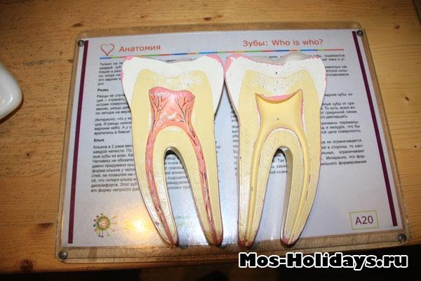 Макет зубов в Экспериментаниуме