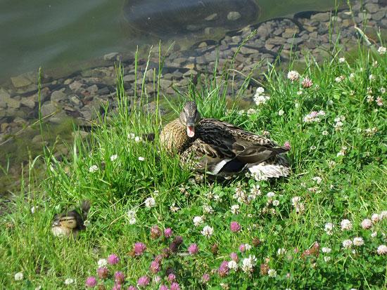 Утки в Измайловском парке защищают свой выводок