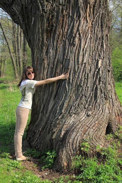 Большой дуб в парке усадьбы Горки