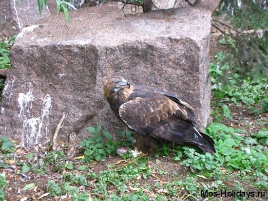 Степной орёл за едой