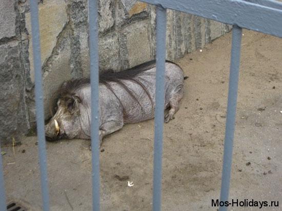 Кабан в Московском зоопарке