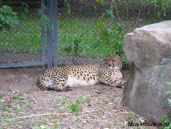 Мама-гепард во время тихого часа в зоопарке