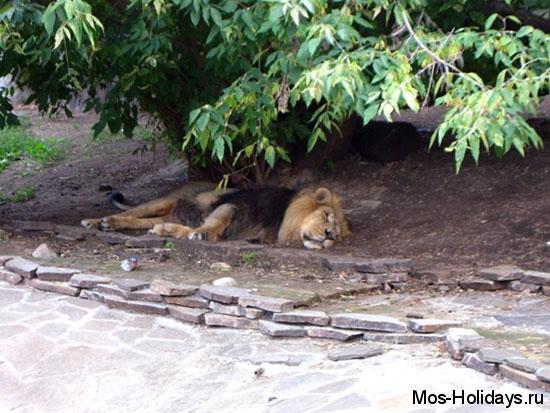 Лев в Московском зоопарке мирно спал