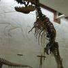 Тарбозавр в Палеонтологическом музее
