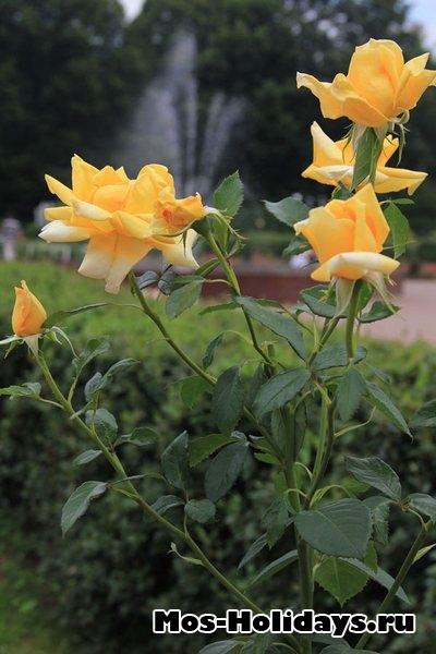 Желтая роза в большом розарии в Сокольниках