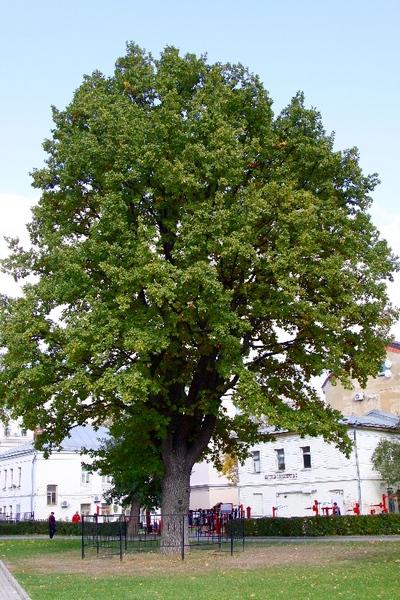 Старый дуб в Таганском парке