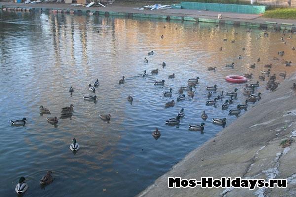 Утки в Тропаревском пруду
