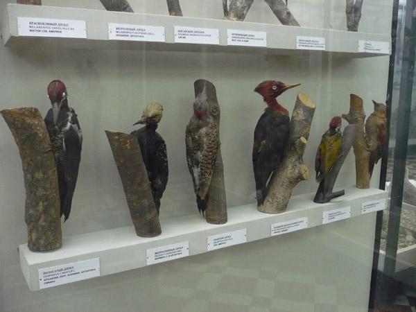 Дятлы в Зоологическом музе МГУ