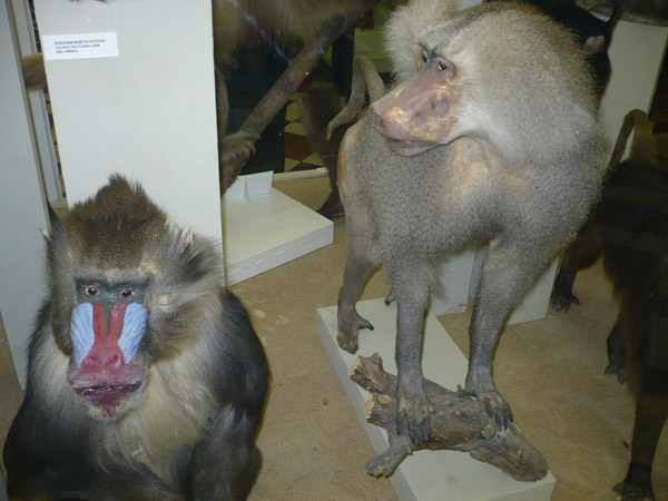 Обезьяны в Зоологическом музее МГУ