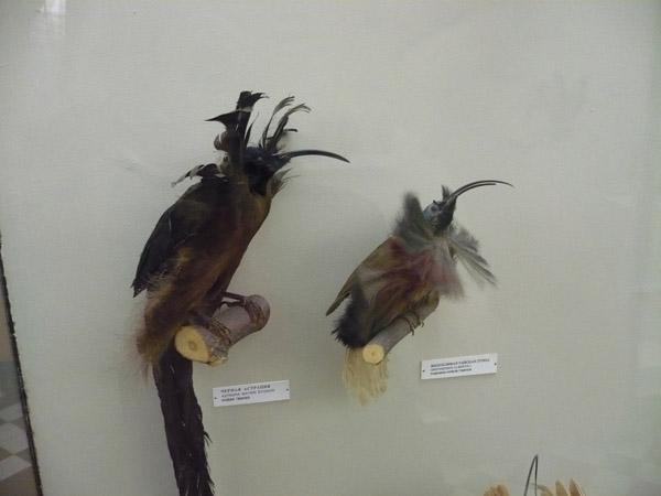 Райские птицы в Зоологическом музее МГУ
