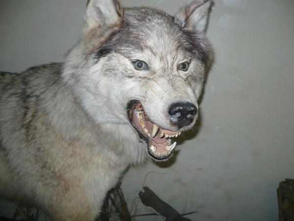Волк в Зоологическом музее МГУ