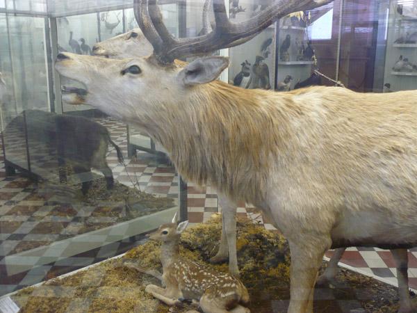 Благородный олень в Зоологическом музее МГУ