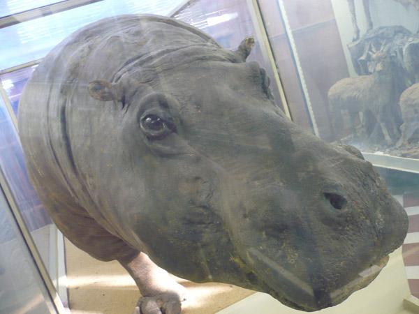Бегемот в Зоологическом музее МГУ