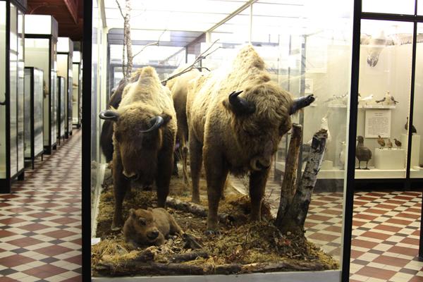 Зубры в Зоологическом музее МГУ