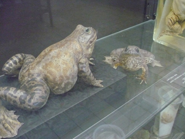 Жаба в Зоологическом музее МГУ