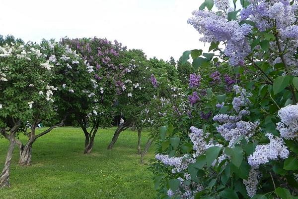 Сиреневый сад