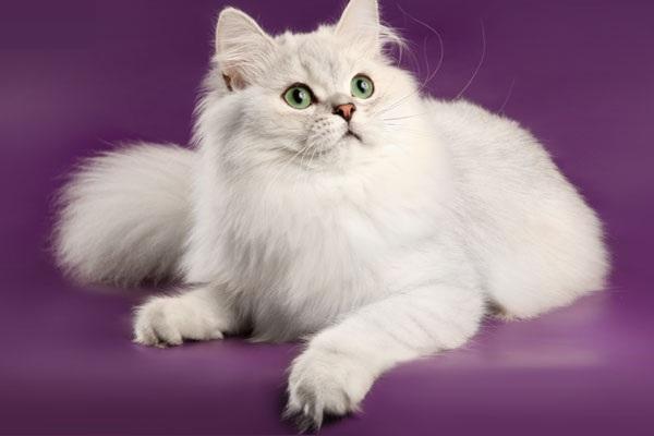 Международная выставка кошек «Лучший весенний кот России – 2016» в КВЦ «Сокольники»