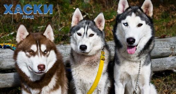Катание на собачьих упряжках в Москве и Подмосковье. Цены