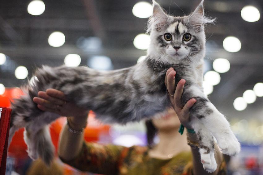Онлайн-фестиваль кошек Cat Fest 2020