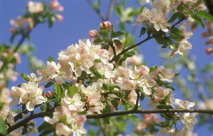Где в Москве цветут яблони?