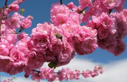 Где в Москве цветет сакура?