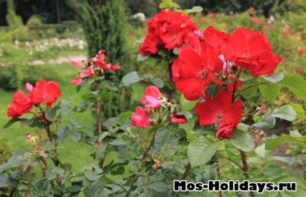 Розарий в парке Сокольники
